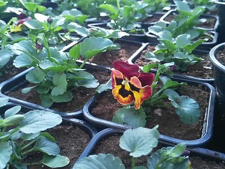 Рассада, К-4, Виола Виттрока (Анютины глазки), 1 растение