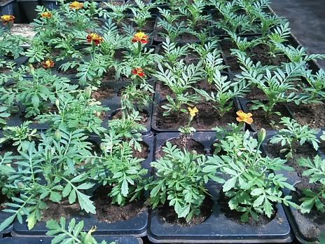 Рассада в кассетах К-4, К-6, Бархатцы, круп., 1 растение