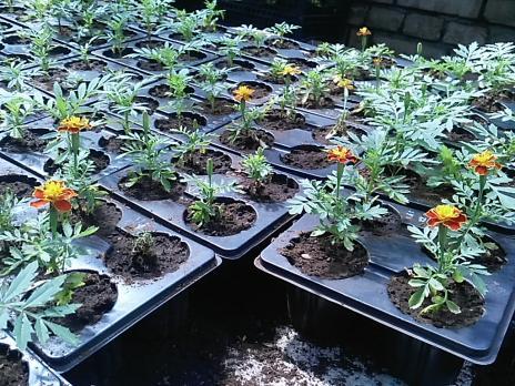 Рассада в кассетах К-4, К-6, Бархатцы, 1 растение